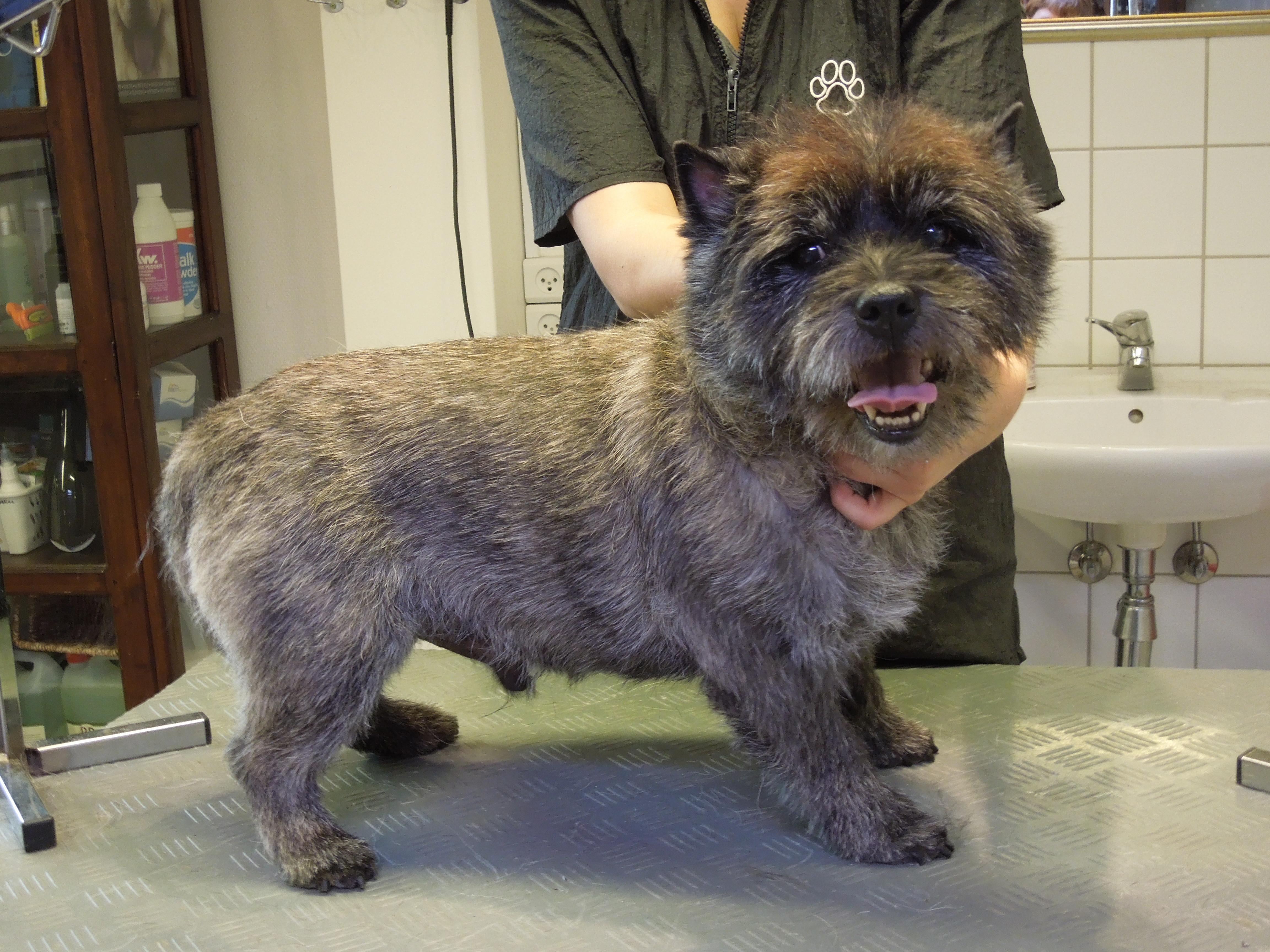 /media/22610/Cairn-Terrier.-Gizmo.-Trim.-Efter-billed-12-.JPG