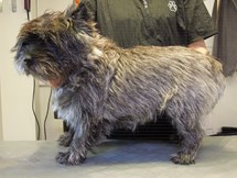/media/22618/Cairn-Terrier.-Gizmo.-Trim.-Før-billed-12-.JPG